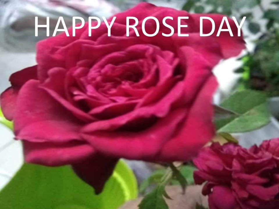 rose day images 2021 wishes